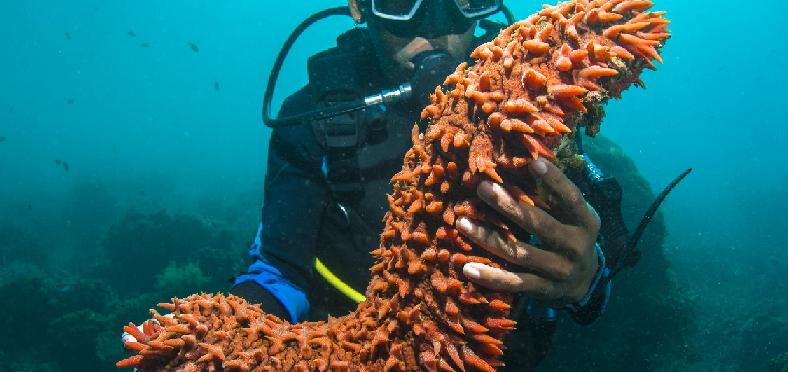 Benarkah Teripang Laut Beracun & Berbahaya ?