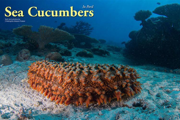 Apa Itu Teripang Laut ? Definisi & Pengertian