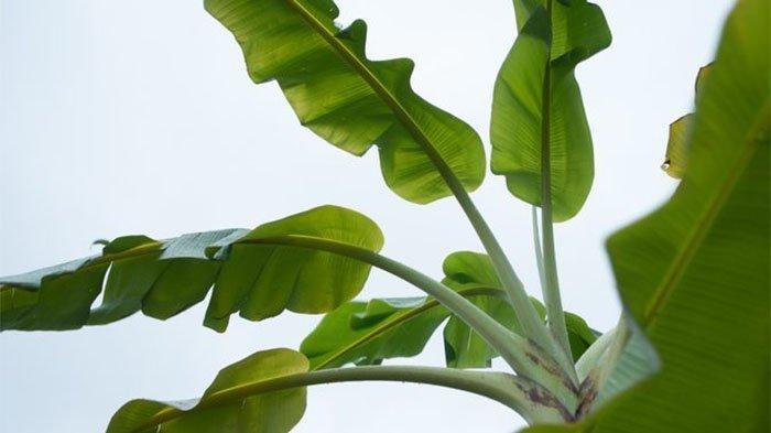 Obat Luka Bakar Herbal Cepat Kering Paling Ampuh, Mujarab & Aman